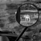 George Rodger, Nairobi National Park. 1958. A lioness in Nairobi National Park.