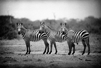 A small group of Zebras in the Kazinga Channel. 1948., by George Rodger