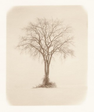 Tom Zetterstrom American Elm, MA art for sale