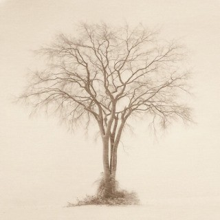 American Elm, MA art for sale