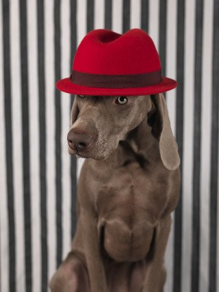Red on Head, by William Wegman